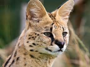 serval cat for malsavannahs caterry