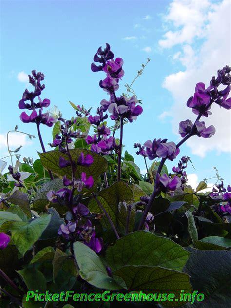 purple flowered vine purple hyacinth bean vine is a vigorous fast growing vine