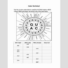 16 Best Images Of Amino Acid Codon Worksheet Answers