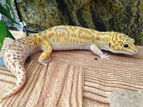 do leopard geckos shed before laying eggs 100 beginner u0027s guide to keeping 100 hotel