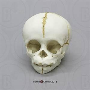Chimpanzee Fetal Skull - Bone Clones  Inc