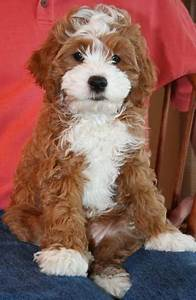 This puppy is a mix of King Charles Cavalier, Cocker ...