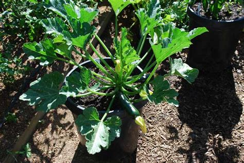 Growing Squash In Containers, Container Squash