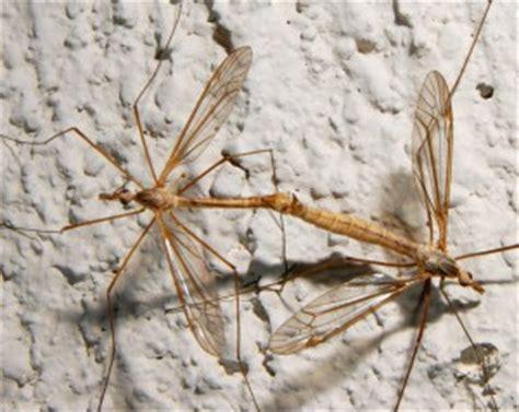 mating crane flies whats  bug