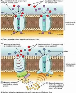 A channel opens on a postsynaptic membrane that causes a ...