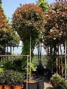 Red Robin Baum : die besten 25 photinia fraseri red robin ideen auf pinterest red robin hedge red robin baum ~ Frokenaadalensverden.com Haus und Dekorationen