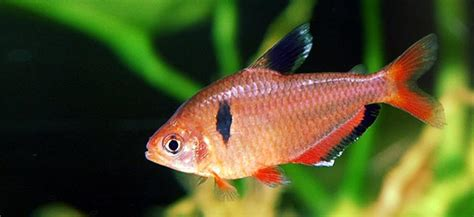 tetra fish uk pfk advent calendar cardinal tetra blog