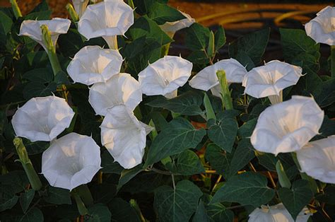 moon plant flowers for flower lovers moon flowers pictures