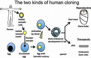 Reproductive Cloning