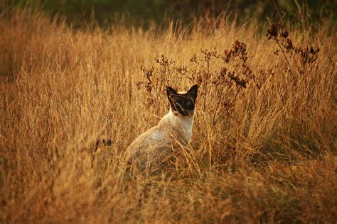 picture cat animal nature grass siamese cat