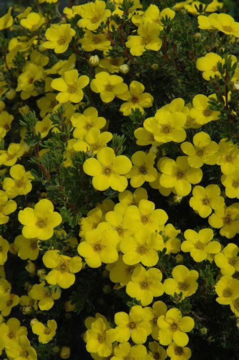 Gold Drop Potentilla (Potentilla fruticosa 'Gold Drop') in ...