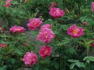 flowers for flower lovers.: Rose flowers desktop wallpapers.