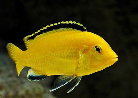 pyszczak-yellow-zolty-ryba-pyszczaki-ryby | Akwarystyka ...