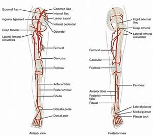 What Happens If The Artery In Your Ankle Gets Cut