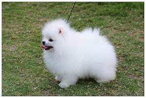 Cute Dogs: Pomeranian Teacup Puppies