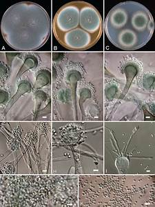 What is Aspergillus? | Mold Safe Solutions
