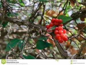 Baum Mit Roten Beeren : strauch mit roten beeren stockfoto bild 48256743 ~ Markanthonyermac.com Haus und Dekorationen