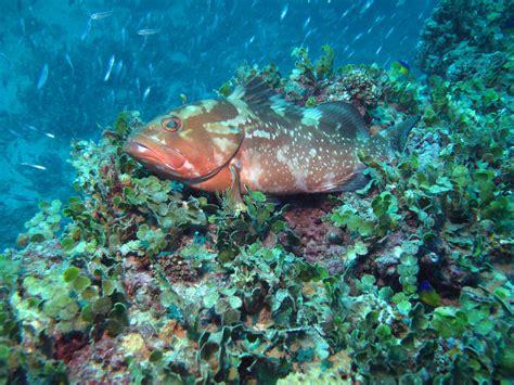 grouper tank gulf dive underwater lot tanks hq divephotoguide water florida scuba wallpapers