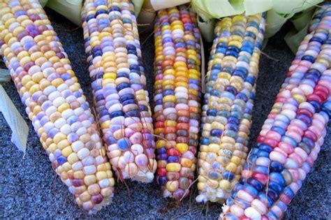 multicoloured corn multi colored corn appeared in oklahoma