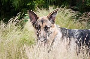 Adopt German Shepherd Police Dogs 10 High Resolution ...