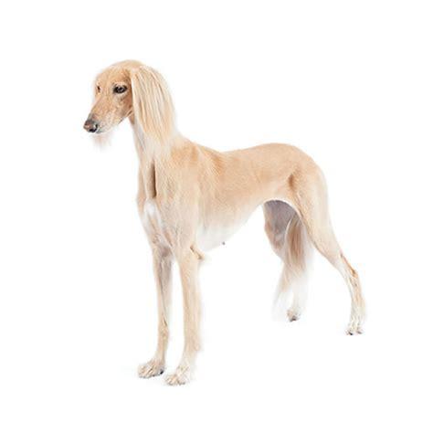 greyhound purina purina