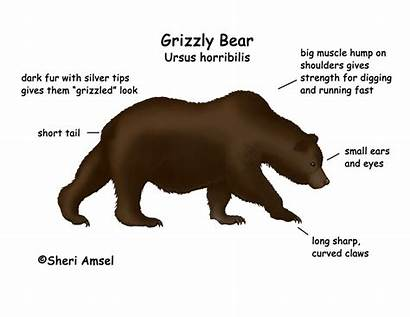 Grizzly Bear Bears Cycle Diagrams Eat Diagram
