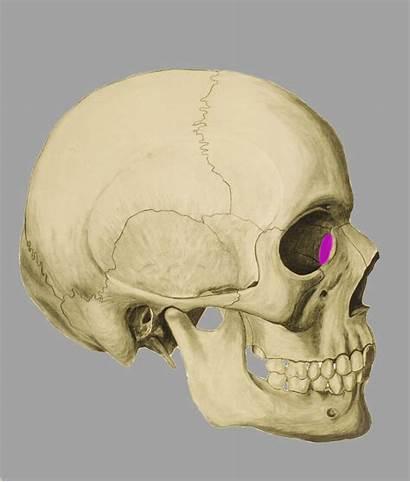 Os Anatomie Lacrimale Sutura Bewegungsapparat Parietale Squama