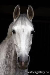 Pferdekopf Schwarz Weiß : wei es pferde pferdekopf von einem schimmel ~ Watch28wear.com Haus und Dekorationen