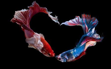 bettas fish animals background wallpapers  desktop
