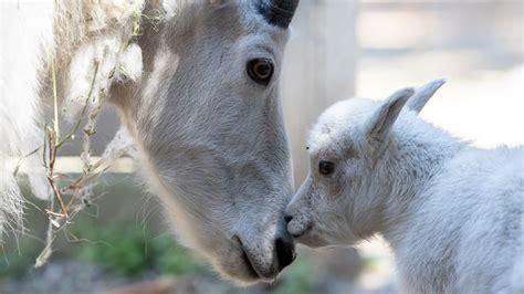 baby mountain goat  woodland park zoo  public debut