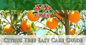 Phoenix Valley Citrus Tree Easy Care Guide