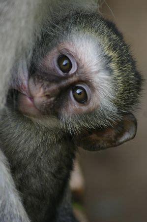 vervet monkey facts  kids