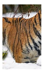 Wallpaper tiger, animal, predator, big cat, snow, wildlife ...