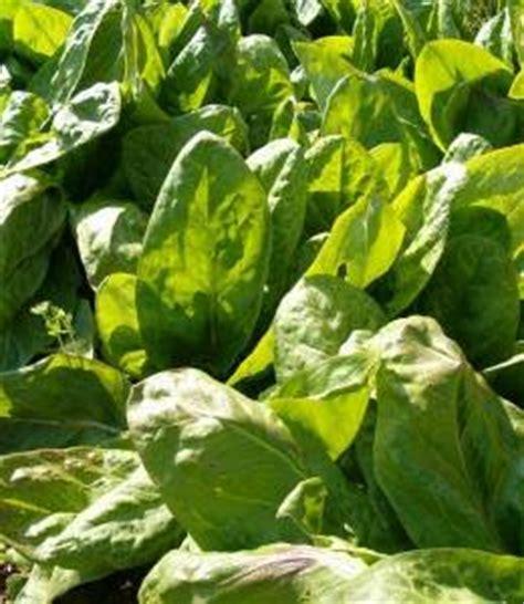 comment cuisiner l oseille plants d 39 oseille tout savoir sur comment les cultiver