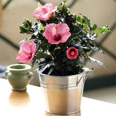 potted hibiscus flowering plants live plants