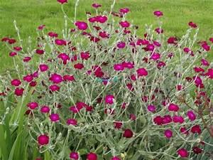 Plante Oreille De Lapin : fleurs appel es aussi oreilles de lapin blog de hamamelis ~ Melissatoandfro.com Idées de Décoration