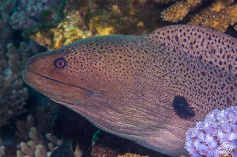 giant moray eel facts  photographs seaunseen