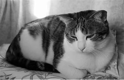 Cat Sad Tabby Cats Shorthair Short American