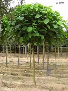 Catalpa Bignonioides Nana Pflege : kugel trompetenbaum kugel trompetenbaum 39 nana 39 ~ Lizthompson.info Haus und Dekorationen