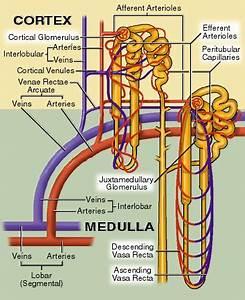 Renal Vasculature  Efferent Arterioles And Peritubular