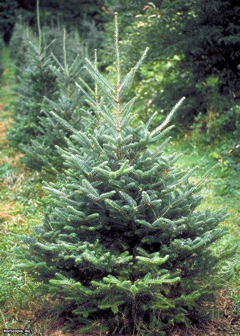 living christmas tree types hgtv