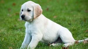 Herbie  Yellow Golden Retreiver Cross Labrador Guide Dog Puppy Playing
