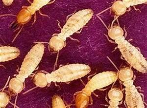 Produit Contre Les Termites : termite comment s 39 en d barrasser produit antinuisible ~ Melissatoandfro.com Idées de Décoration