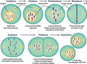 Cell Cycle  Mitosis Phases