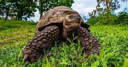 Galapagos Tortoise Giant Islands Tortoises Island Animals
