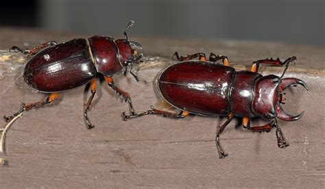 Nature: Boom in fearsome stag beetles a boon for ecology ...