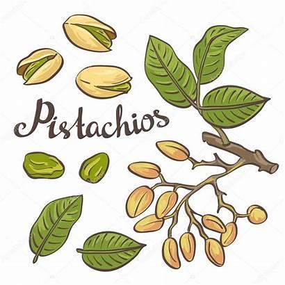 Pistachio Nuts Vector Leaves Illustration Tree Clip