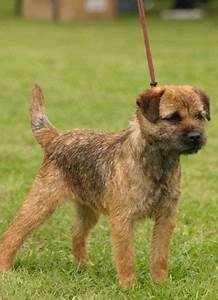Border Terrier Dog Breed Information, Puppies & Pictures
