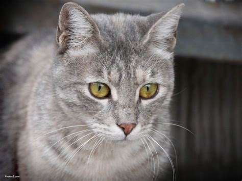 grey cats xmwallpapers com wallpaper animals cats and kittens gray cat with green eyes wa