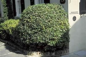 Cleyera - Tree Selection - Landscape Plants
